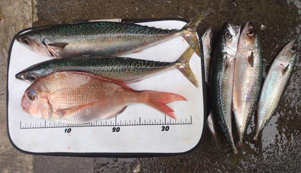 佐田岬半島の二名津の釣果