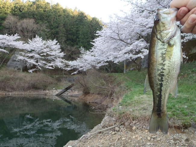 銚子ダムの桜とブラックバス釣り