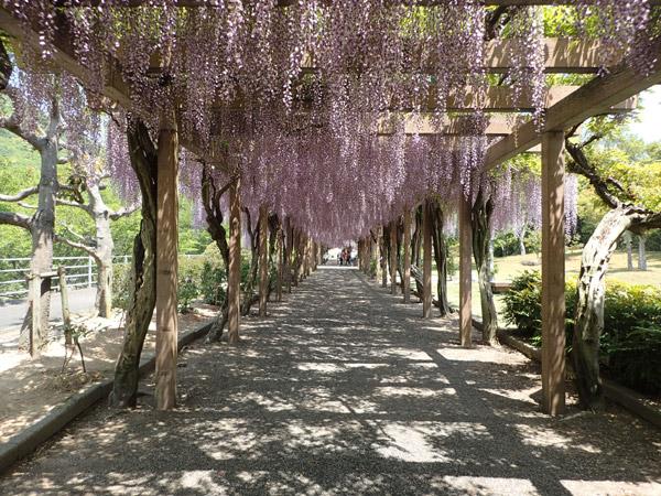 大三島の藤公園