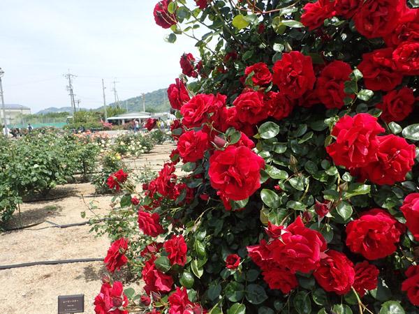 ムービースター赤薔薇