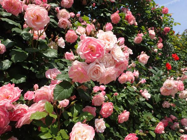 よしうみバラ園のピンク薔薇