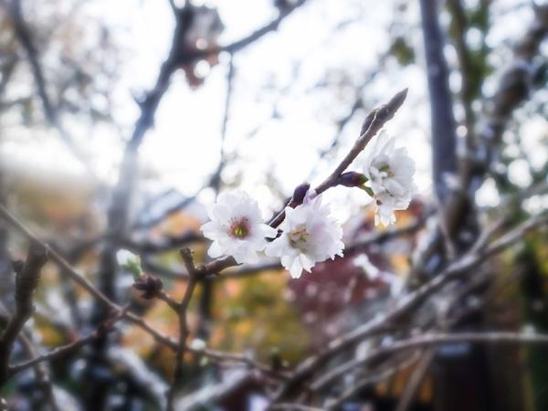 マイントピア別子の冬桜