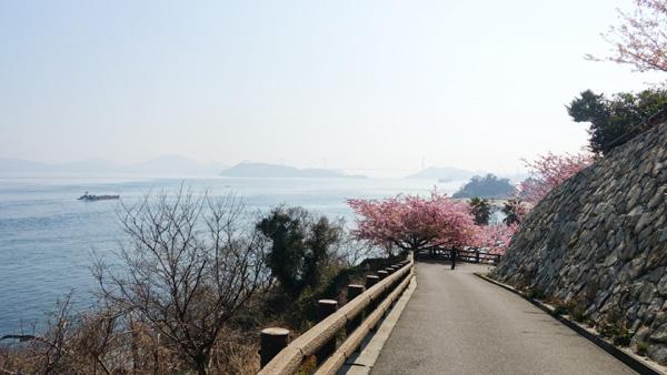 今治市波方町大角海浜公園の河津桜